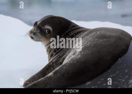 Weddel Seal, Antarctica. - Stock Image