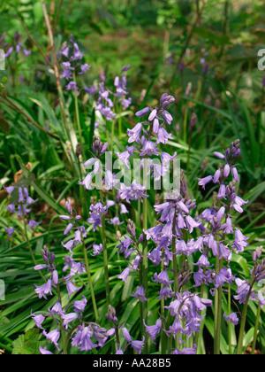 Bluebells in springtime Norfolk England - Stock Image