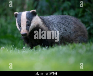 A wild Badger (Meles meles) foraging in a garden late evening, Warwickshire - Stock Image