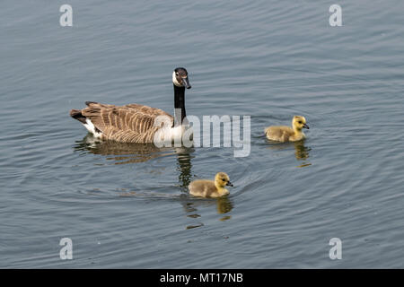 Adult Canada Goose and goslings - Stock Image