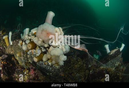 Spawning Metridium farcimen - Stock Image