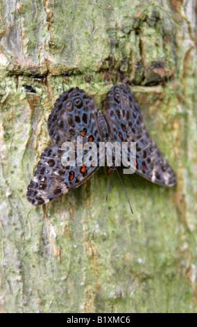 Chloe Cracker Butterfly, Hamadryas chloe, Nymphalidae, South America, Venezuela, Colombia, Peru, Brazil - Stock Image