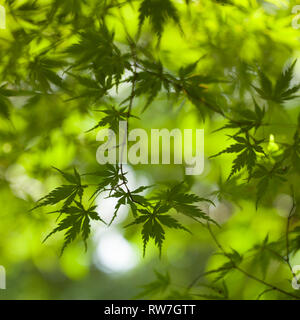 Green Japanese Maple Tree Leaves, Selective Focus - Stock Image