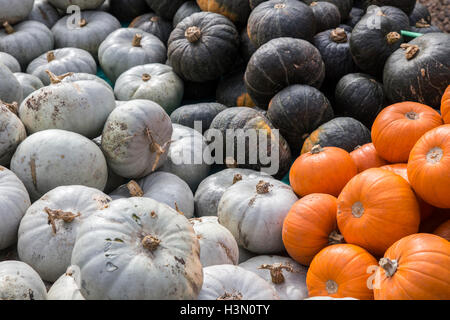 Variety of pumpkins at Slindon Farm, West Sussex. - Stock Image