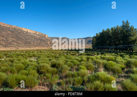 Rooibos plantations in the Biedouw valley in the Cederberg Mountains in South Africa. - Stock Image
