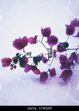 Pink bougainvillea flowers with grunge texture - Stock Image