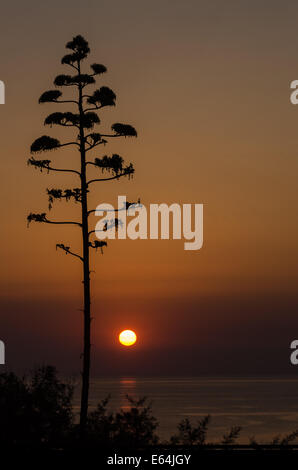 American Agave tree silhouetted against warm sunrise sky and seascape - Stock Image