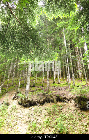 Forest of Aran valley in the Catalan Pyrenees, Spain - Stock Image
