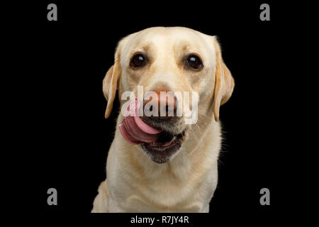 Funny Portrait of Labrador retriever dog Licking and Looking in camera on isolated black background, front view - Stock Image
