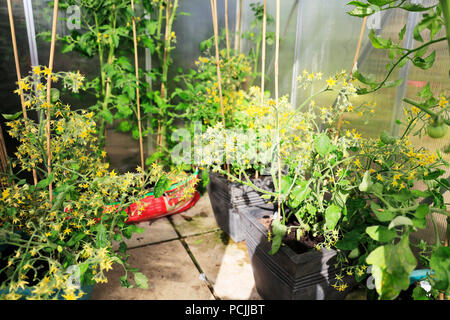 Tomato plants, growing tomatoes, greenhouse tomatoes, green tomatoes, growbags, tomatoes in greenhouse, tomatoes in grow bags, grow bag, grow bags, - Stock Image