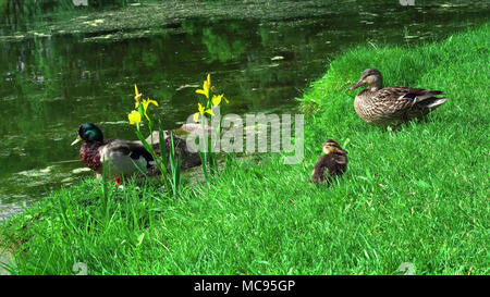 duck stands between the grass on the waterfront - Stock Image