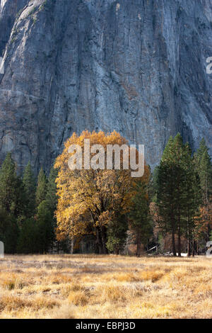Cottonwood tree during fall. Yosemite Valley, Yosemite National Park, Mariposa County, California, USA - Stock Image