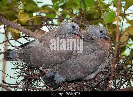 Wood Pigeon chicks, Columba palumbus, precocial in nest, London, United Kingdom - Stock Image