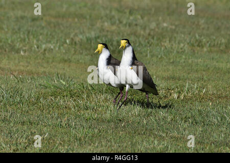 Two An Australian, Queensland Masked Lapwings ( Vanellus miles ) walking on the ground - Stock Image