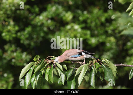 Jay Garrulus glandiarius Taking cherry from tree Carmarthenshire June 2015 - Stock Image