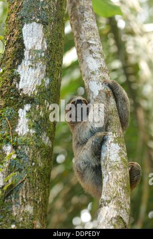 Three-toed sloth in tree, Costa Rica - Stock Image