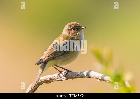 Close-up of a common chiffchaff bird Phylloscopus collybita, singing on a beautiful summer evening with soft backlight on a green vibrant background. - Stock Image