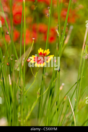 A single flower with red and yellow cruciform petals growing wild in a meadow in the western Algarve, Portugal. - Stock Image