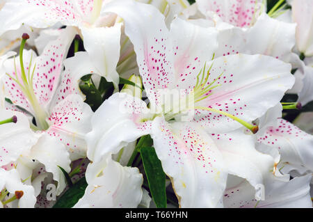 many Lily flowers in the garden close up view - Stock Image