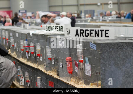 London & Essex Rabbit breeders and exhibitors event - Stock Image