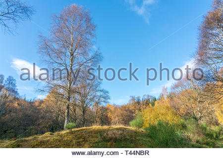 Scottish forest on a cool winter morning - Stock Image