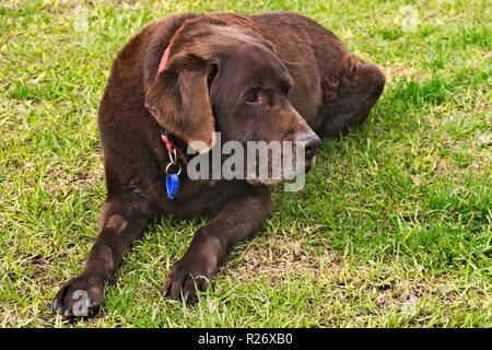 Old chocolate brown labrador retriever dog with collar and tags, lying on grass. - Stock Image