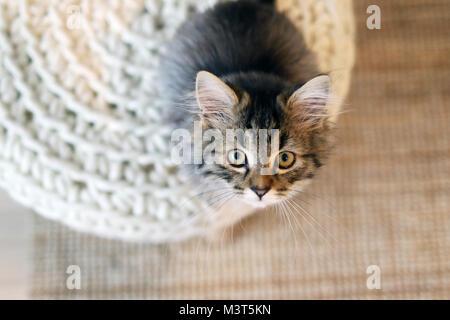 Cute Main Coon kitten - Stock Image