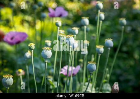 Close-up view of poppy (papaver) seed heads after flowering in a garden in Surrey, south-east England, UK - Stock Image