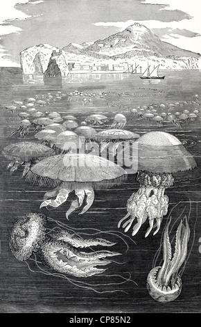 Medusae or jellyfish, cnidarians (Cnidaria) and comb jellies (Ctenophora), historical engraving, 19th Century, Quallen - Stock Image