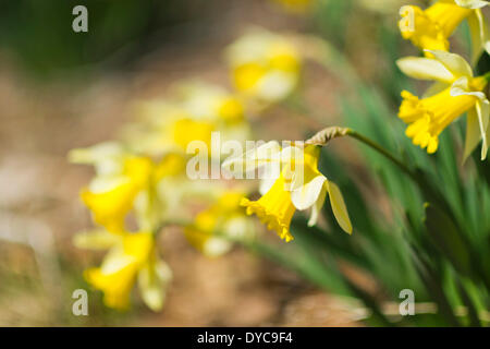Roslyn, New York, U.S. - April 12, 2014 - Yellow daffodils are blooming on a warm sunny spring day on Long Island. Credit:  Ann E Parry/Alamy Live News - Stock Image