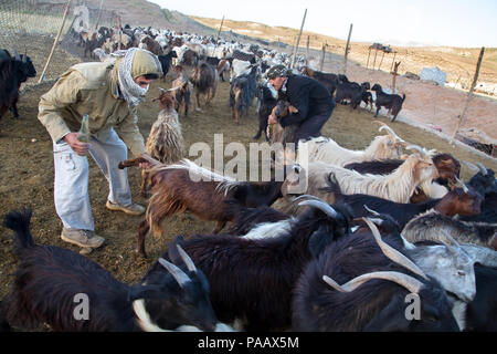 Qashqai shepherds with their goats in the early morning, nomad people, Iran - Stock Image