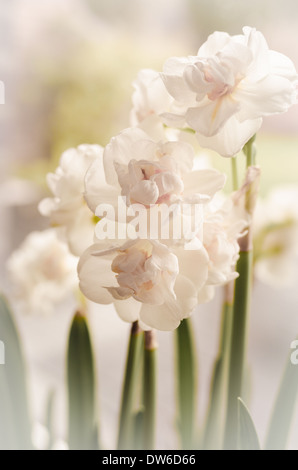 White narcissus and early green spring - Stock Image