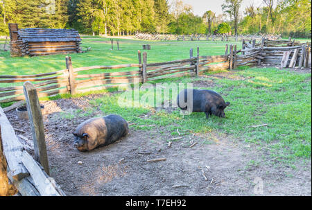 LIMESTONE, TN, USA: 4/28/19:  Two pigs in a sty on the David Crockett Birthplace State Park grounds. - Stock Image