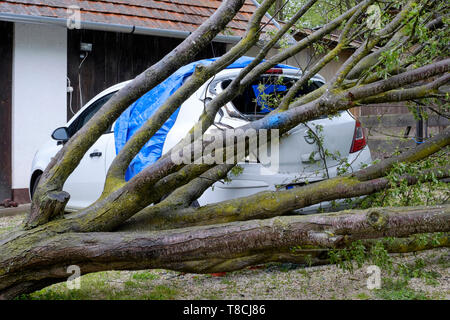 rear end of a car badly damaged by a fallen apple tree brought down by gales zala county hungary - Stock Image