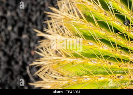 Close up of golden barrel cactus (Echinocactus grusonii) - Stock Image