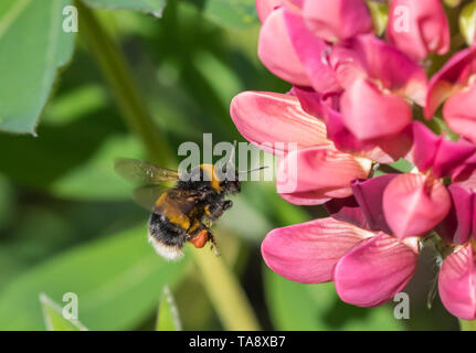 Buff-tailed bumblebee (Bombus terrestris) hovering in mid-air by a pink Lupin (Lupinus) flower in Spring (May) in West Sussex, England, UK. Bee. - Stock Image