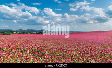 Idyllic landscape and a flowering crimson clover farmland. Trifolium incarnatum. Red trefoil blooms. Spring blue sky. Fluffy white clouds. Green trees. - Stock Image