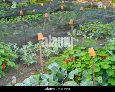 Insect netting supported on sticks with inverted plant pots over a large allotmment vegetable plot. - Stock Image