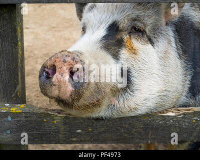 Gloucester Old Spot pig close up looking through bars on her sty - Stock Image
