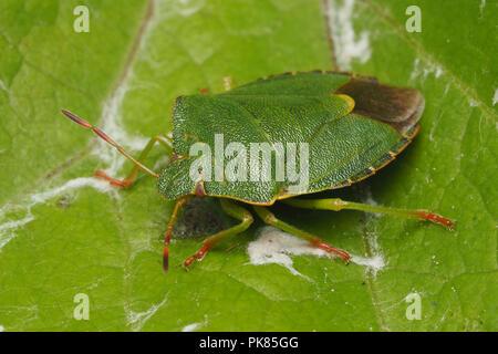 Common Green Shieldbug (Palomena prasina) resting on leaf. Tipperary, Ireland - Stock Image