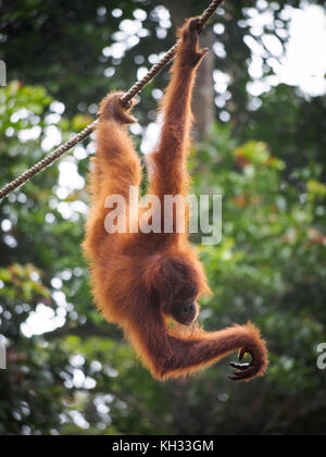 Bornean Orangutan (Pongo pygmaeus) hanging from cable at Orangutan Rehabilitation Centre, Sepilok, Sabah, Borneo, - Stock Image