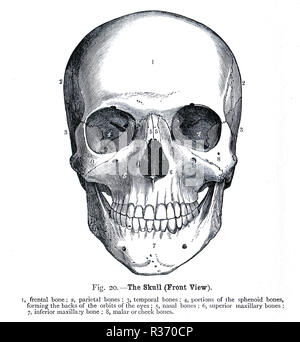 Human Skull, front view. A 19th Century illustration - Stock Image