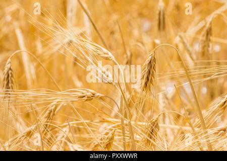 closeup to fresh barley grain - Stock Image