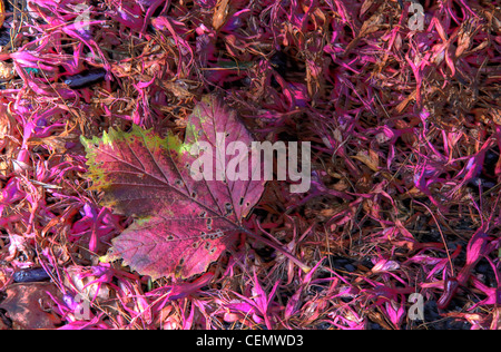 Autumn Red Pink Leaf on pink autumn fallen foilage, great reds and purples - Stock Image