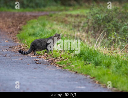 An attentive Tabby Cat hunting a bird (out of shot) on a riverside path. - Stock Image