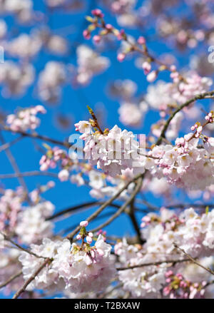 Pink akebono cherry blossoms on branches against a blue sky. - Stock Image