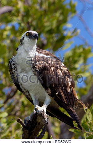 osprey - Pandion haliaetus - also known as sea hawk, river hawk and fish hawk - Stock Image