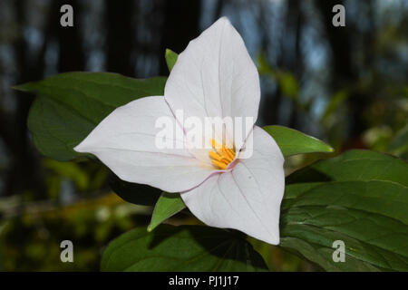 Close-up of a large-flowered trillium blossom. - Stock Image