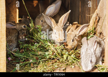 young rabbits in a cage on private farm in russian village - Stock Image