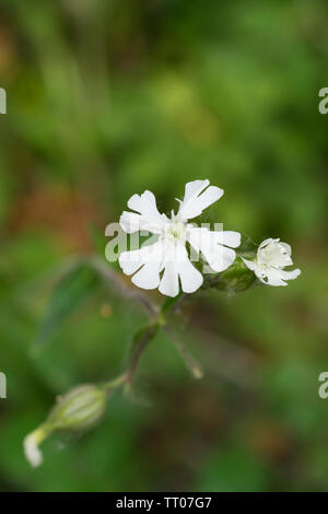 Common Mouse-ear - Stock Image